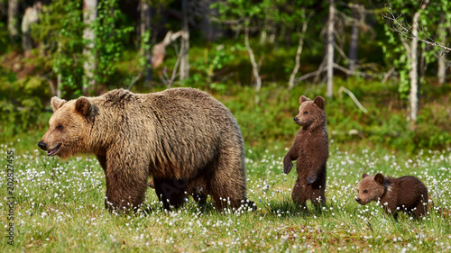 Photo Female brown bear and her cubs