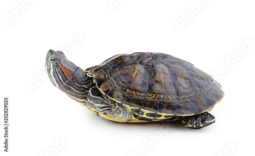 Foto op Aluminium Schildpad red ear turtle isolated on white background