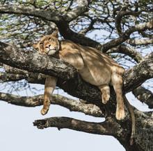 Lazy Lion - A Female Lion Rela...