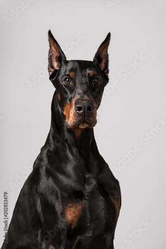 Portrait of a dobermann Canvas Print