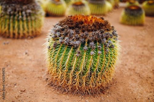Keuken foto achterwand Cactus huge cactus, closeup view