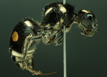 Velvet Ant Preserved With Ento...