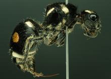 Velvet Ant Preserved With Entomological Pins