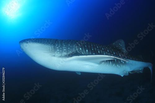 Obraz na dibondzie (fotoboard) Rekin wielorybi