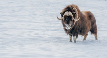 Muskox Looking In Your Eyes