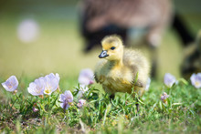 Cute Newborn Canada Goose Gosling Standing In The Spring Flower Grass. Mother Goose In The Background.