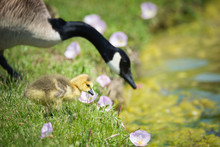 Cute Canada Goose Gosling With...