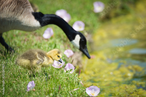 Cute Canada goose gosling with mother stepping in grass and pink spring flowers by the water's edge