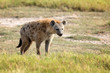 canvas print picture - Spotted Hyena (Crocuta crocuta) in the park