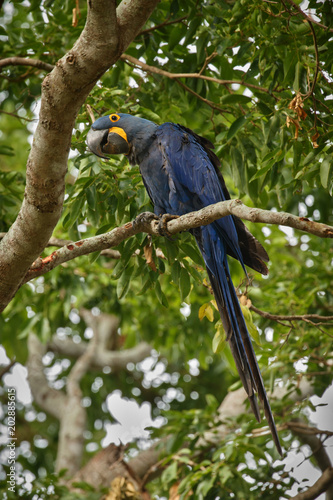 hyacinth macaw on a palm tree in the nature habitat, wild brasil, brasilian wild Slika na platnu