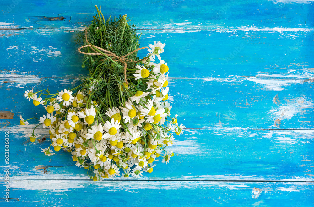 Fototapety, obrazy: Bouquet of Freshly Picked Camomile Flowers Tied with Twine on Aged Plank Wood Blue Background. Beauty Skin Care Healthy Infusions Tea Detox Concept. Process of Drying Herbs. Poster Banner Copy Space