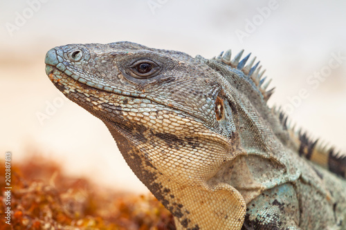 Close up of wild iguana in Mexico