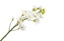 Gypsophila Flowers Isolated