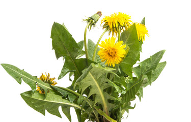 dandelion with leaves isolated