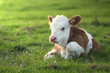 Brown White Calf On The Floral Pasture