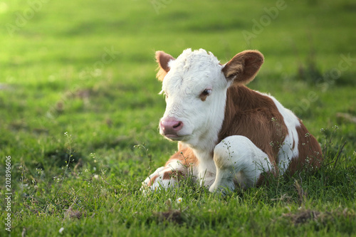 Foto Brown white calf on the floral pasture