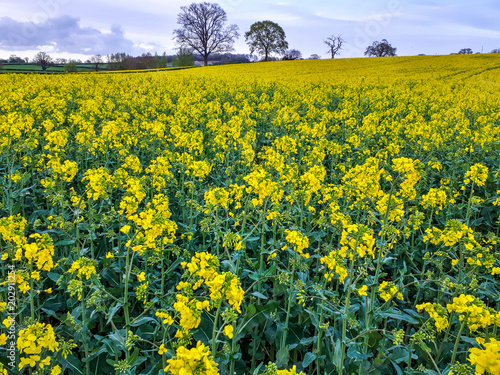 Fotobehang Zwavel geel Oilseed rape or canola meadow in the Herefordshire countryside in England in spring.