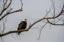 A Bald Eagle Resting On A Tree Close To River