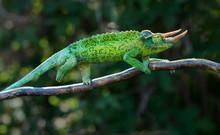 Chameleon Trioceros Jacksonii Xantholophus From Keyna, Also Called Jackson's Horned Chameleon Or Kikuyu Three-horned Chameleon