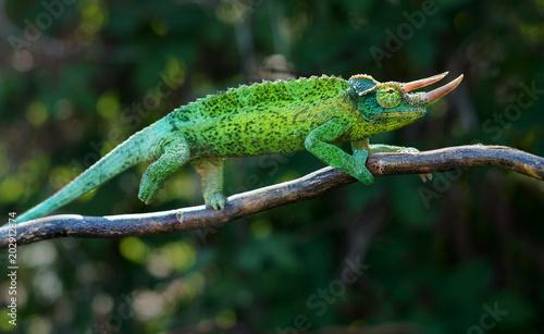 Fotografie, Obraz Chameleon trioceros jacksonii xantholophus from Keyna, also called Jackson's hor