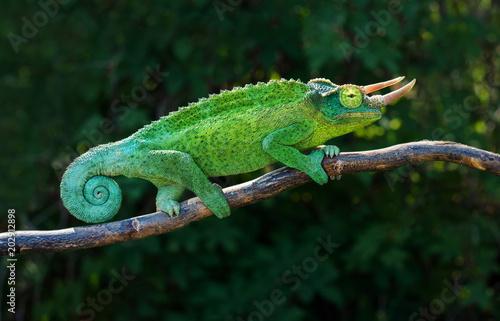Fototapeta Chameleon trioceros jacksonii xantholophus from Keyna, also called Jackson's hor
