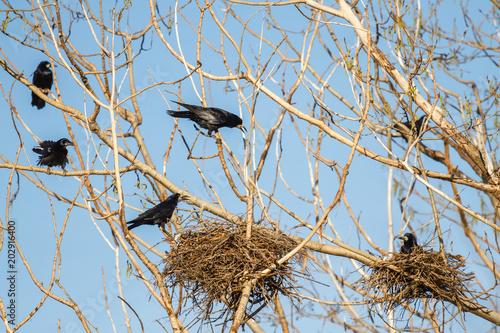 Photo Corvus frugilegus. Grajas con nidos.