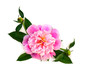 Pink peony with buds on a white background with space for text. Top view, flat lay.