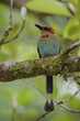 Broad-billed Motmot - Electron platyrhynchum, beautiful colorful motmot from Central America forests, Costa Rica.