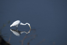 A Greater Egret Trying To Catch A Fish Inside Pench Tiger Reserve During A Wildlife Safari