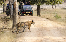 An Adult Tiger Patrolling Its Territory On A Cold Winter Morning Inside Pench National Park