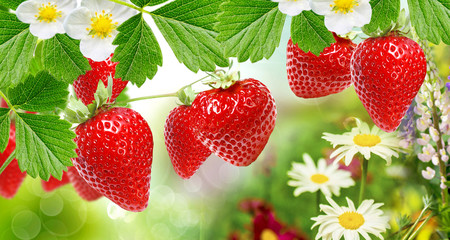 Fototapeta Owoce ripe garden strawberries