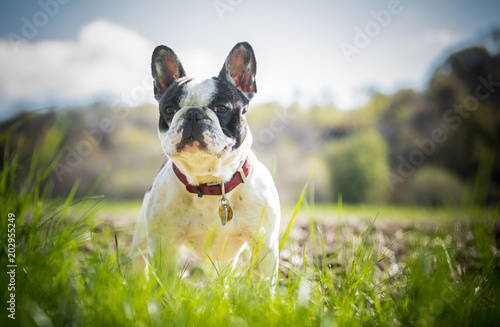 The French Bulldog Canvas Print