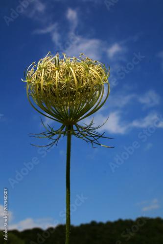 Fotografie, Obraz fleur d'ombellifère oenanthe