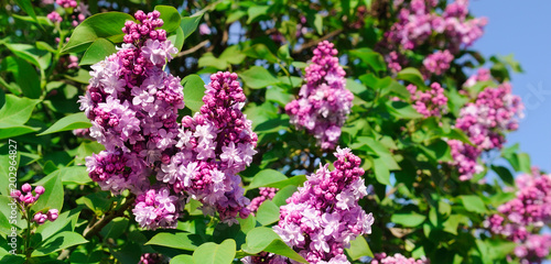 Purple lilac flowers spring blossom background. Wide photo.