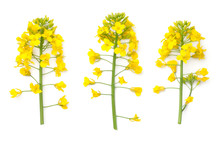 Rapeseed Flowers Isolated On W...