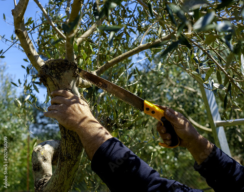 Tuinposter Olijfboom Pruning an olive tree with pruning hand saws