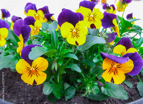 The first spring colorful pansy in the sunshine