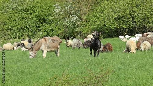 Zwei Herdenschutzesel mit ihrer Schafherde