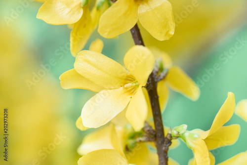 Fotografie, Tablou Forsythia intermedia flowers