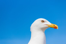 Seagull Running In Closeup Wit...