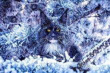 A Very Nice Wild Blue Maine Coon Cat Sitting On The Pine Tree In The Winter Snowy Forest.
