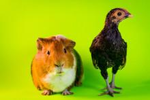 Interspecies Friendship Guinea Pig Chicken