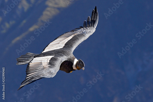 The Andean condor (Vultur gryphus) is a South American bird in the New World vulture family, Colca Canyon, Arequipa region, Peru Canvas Print