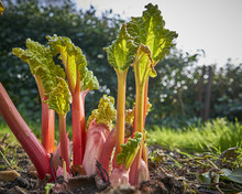 New Rhubarb Shoots Sprouting I...