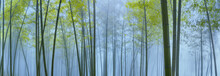 Bamboo Forest In Mist
