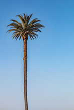 A Left-sided Canary Island Date Palm (Phoenix Canariensis) Tree.