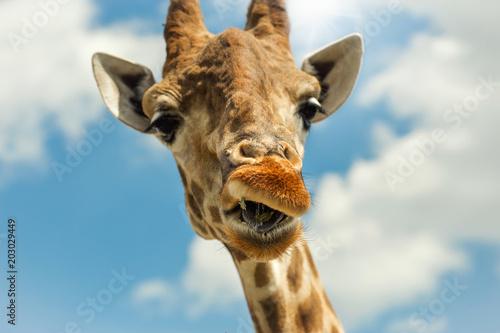 Photo  Funny portrait giraffe against blue sky clouds