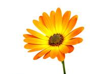 Beautiful Orange Osteospermum Or African Daisy Flower Isolated On White