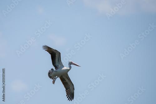 Flying spot billed pelican or grey pelican in Thailand Poster