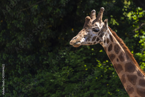 Foto op Canvas Giraffe Giraffe in front of a natural green background
